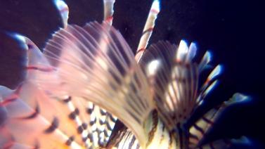 1017ミノカサゴ鰭