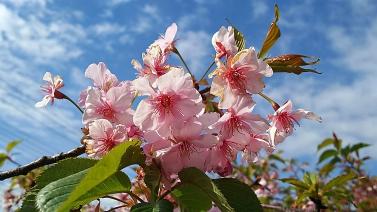 213桜1