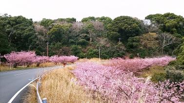 214桜2