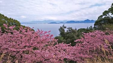214桜3
