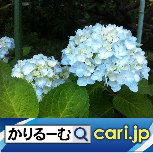 7_ajisaiao191204w500x500.jpg