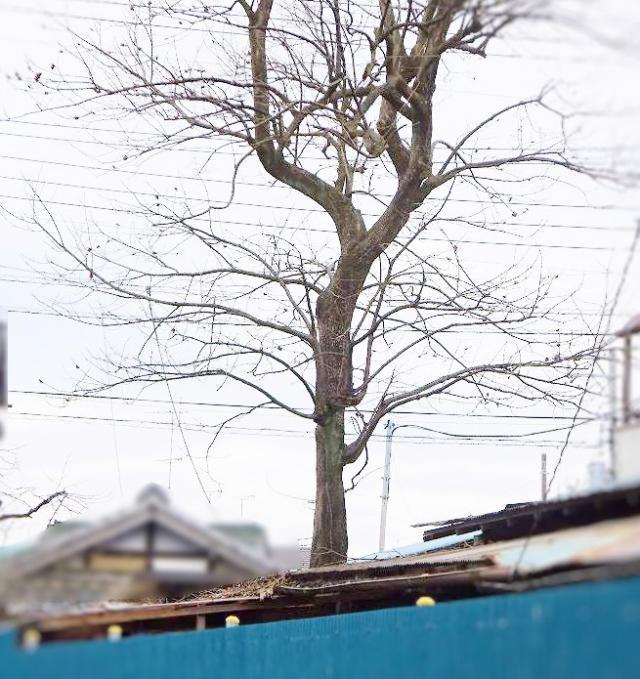 屋根上の庭木1