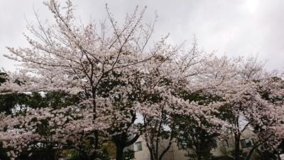 2021032907101587aお庭の桜