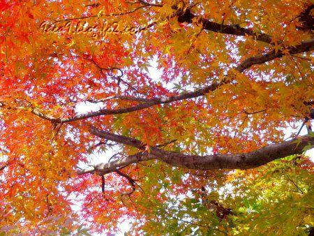2010 11 20 こんな紅葉も素敵10