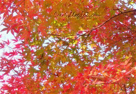 2010 11 20 こんな紅葉も素敵11