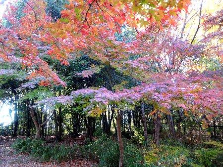 葉が紫になるノムラモミジ1