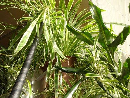 室内ジャングル 観葉植物 部屋