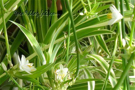 私の部屋 観葉植物が凄い オリズルラン ランナー 1