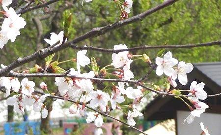 桜の季節がやってまいりました