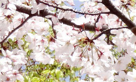 2021 近所の桜 1
