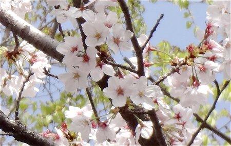 2021 近所の桜 3