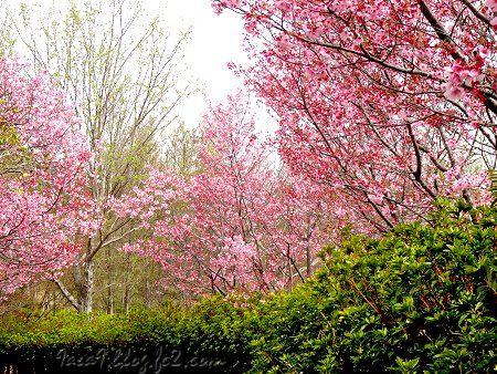 桜公園でございますわ 1