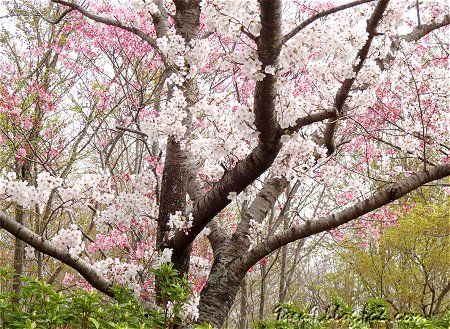 桜公園でございますわ 3