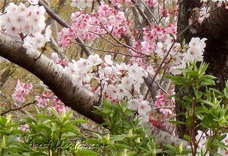 桜公園でございますわ 4