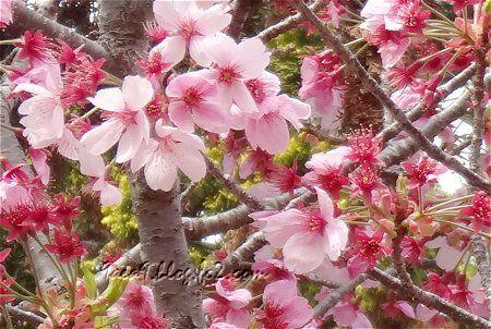 桜公園でございますわ 5