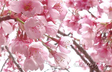 可愛い 撮り方 ピンク桜