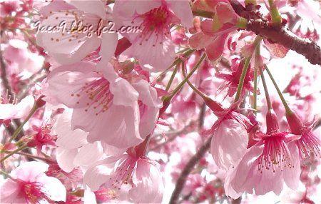 可愛い 撮り方 ピンク桜2
