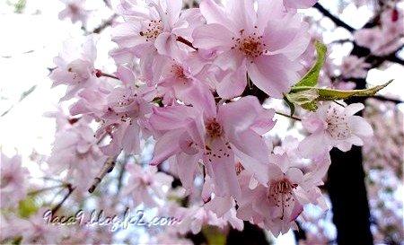 はなびらのおおい桜