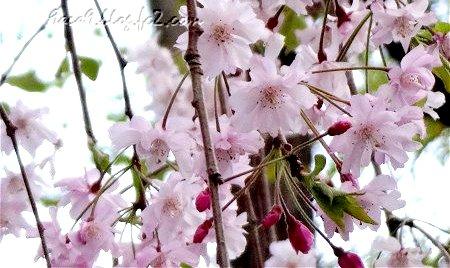 はなびらのおおい桜2