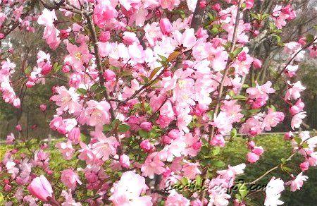 ソメイヨシノ の 後 これからが主役の桜 3
