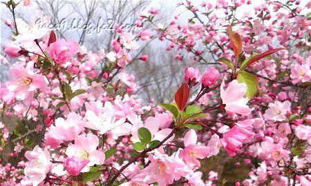 ソメイヨシノ の 後 これからが主役の桜 4