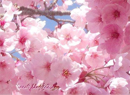 まるっこい桜 1