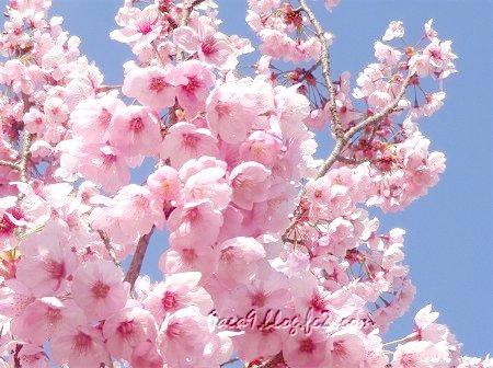 まるっこい桜 2