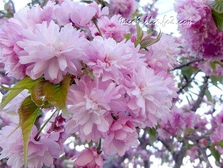 すばらしくうつくしい 八重桜の仲間 1