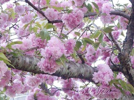 すばらしくうつくしい 八重桜の仲間