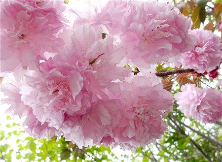 優雅で上品な 八重桜 1