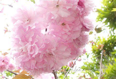 優雅で上品な 八重桜 2