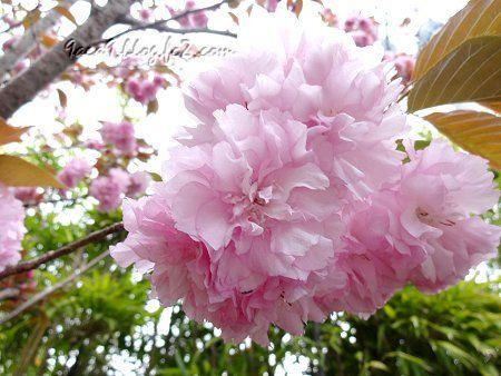 優雅で上品な 八重桜 3