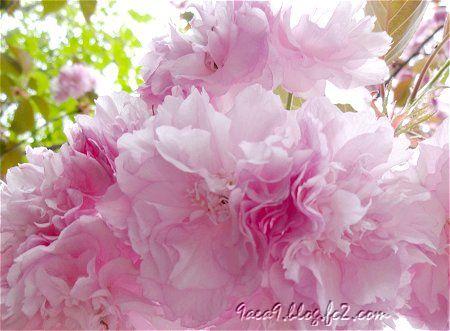 優雅で上品な 八重桜 4