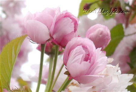 風が強すぎて 運にかけるしか無かった 八重桜のつぼみが可愛い