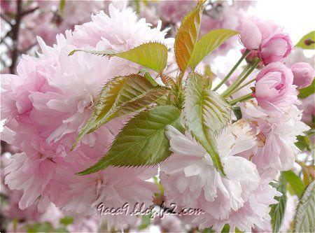 風が強すぎて 運にかけるしか無かった 八重桜のつぼみが可愛い2