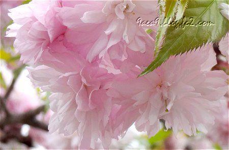 風が強すぎて 運にかけるしか無かった 八重桜のつぼみが可愛い3
