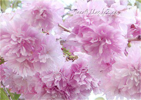 八重桜のふりるを楽しむ 2