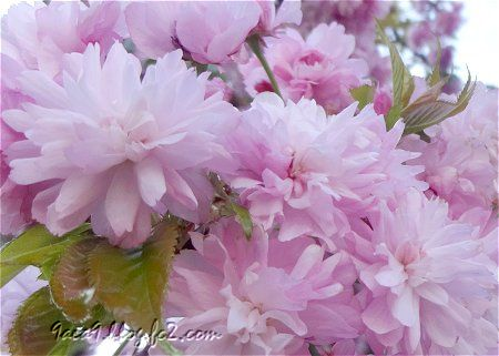 八重桜のふりるを楽しむ 4