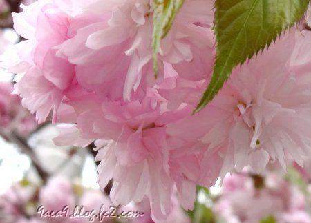 八重桜のふりるを楽しむ 3