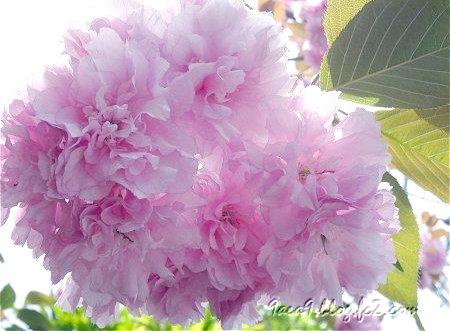 八重桜のふりるを楽しむ 5