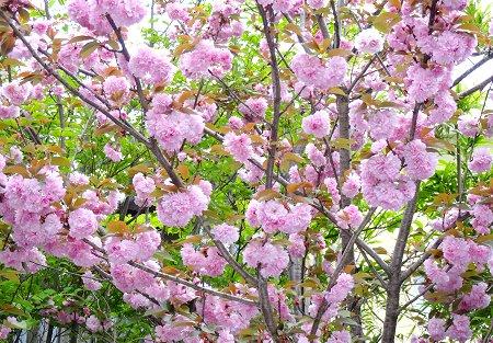 ちなみの 一昨日の全体像はこんな感じ 八重桜