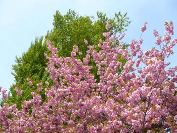 道庁前広場の桜350