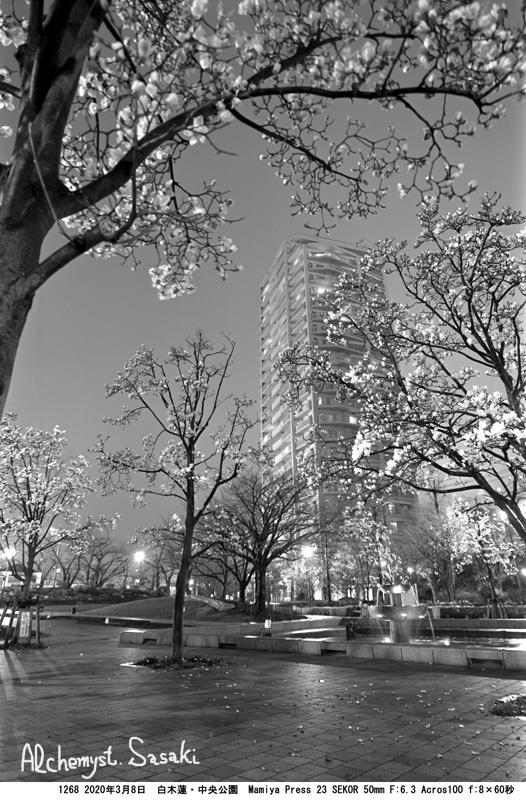 白木蓮の咲く公園1268-8