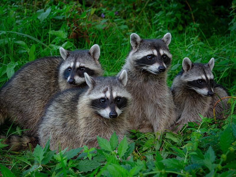 アライグマの家族