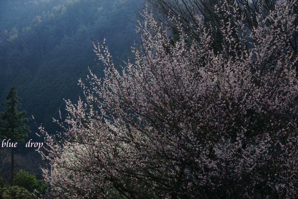 梅咲く里山*