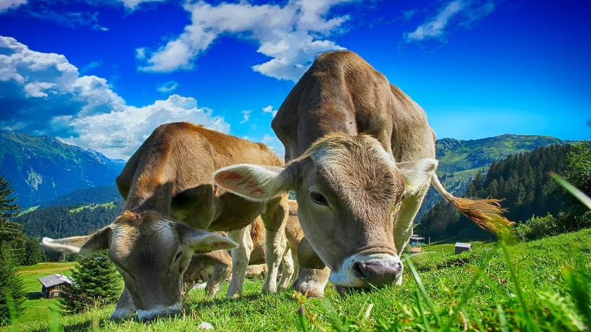 cows-in-a-farm