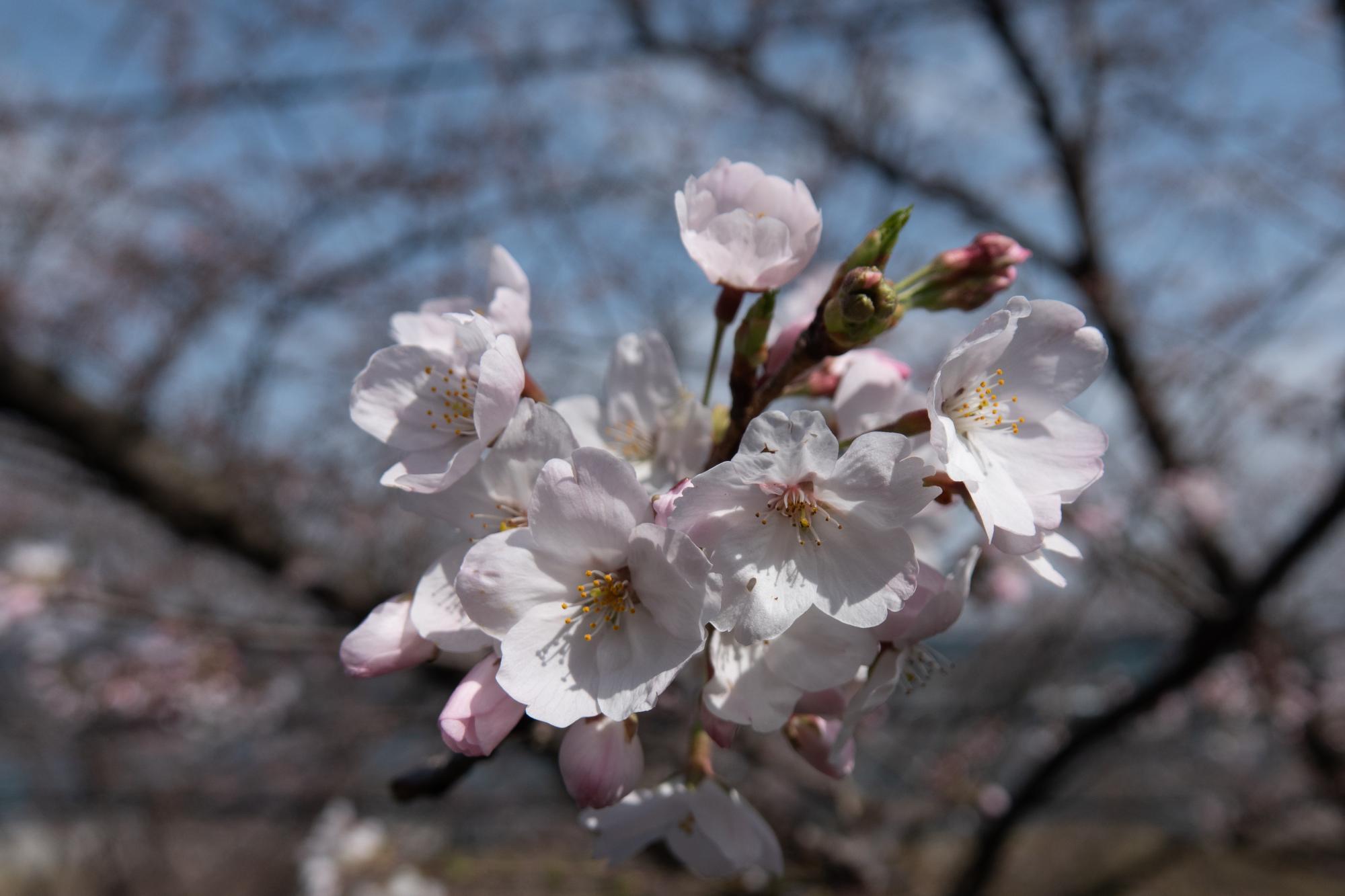20210322-桜1