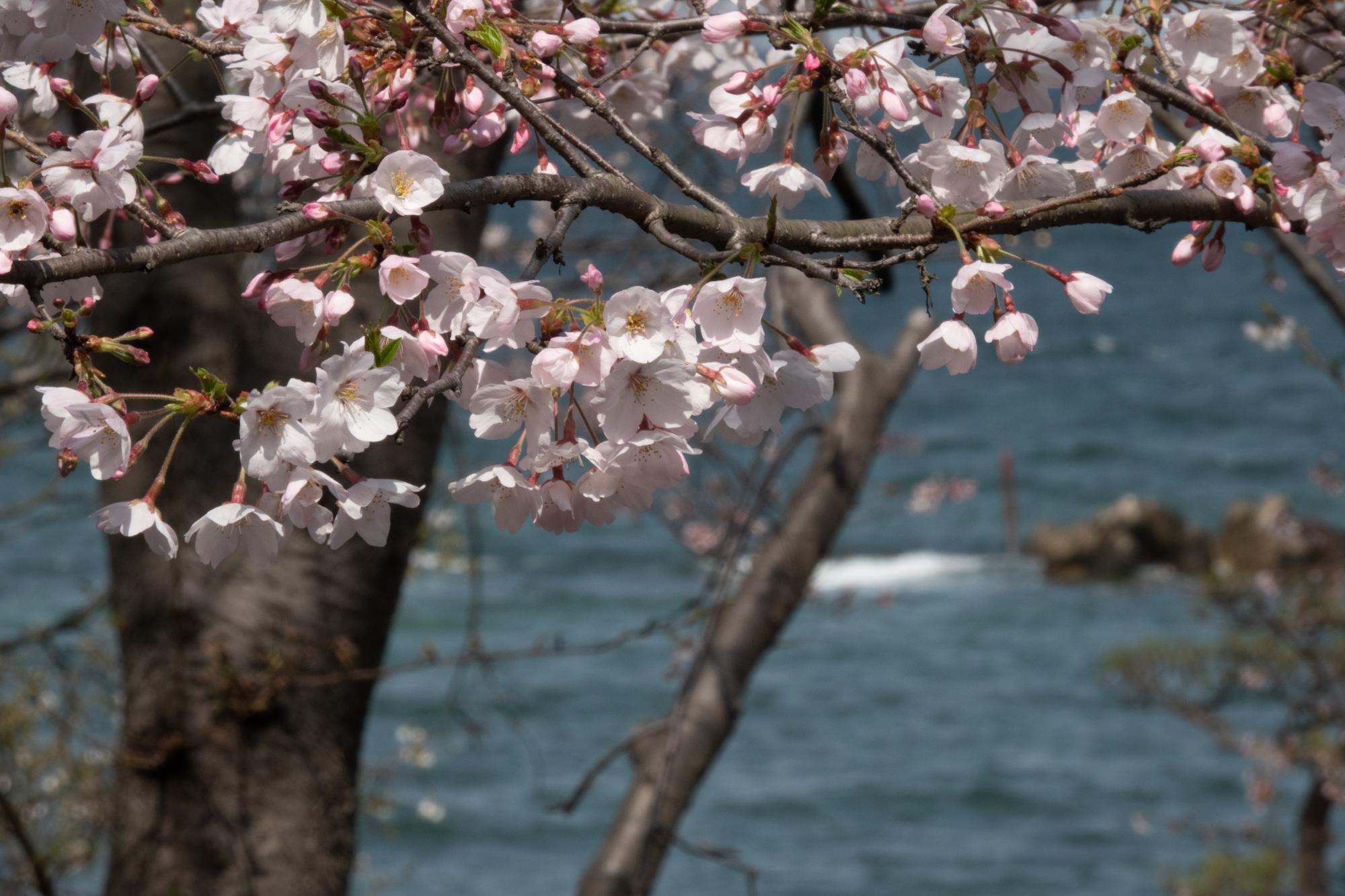 20210322-桜3