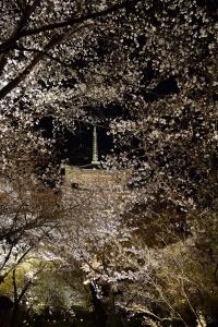 桜に埋もれる