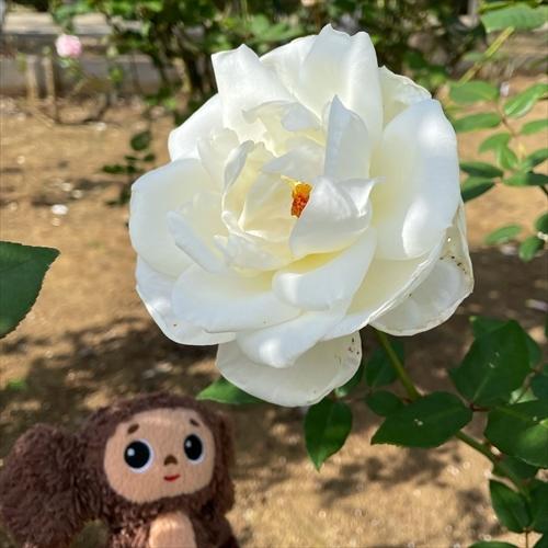 ゆうブログケロブログバラ苑2020秋 (6)_R